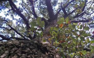 El tronc del roure gros