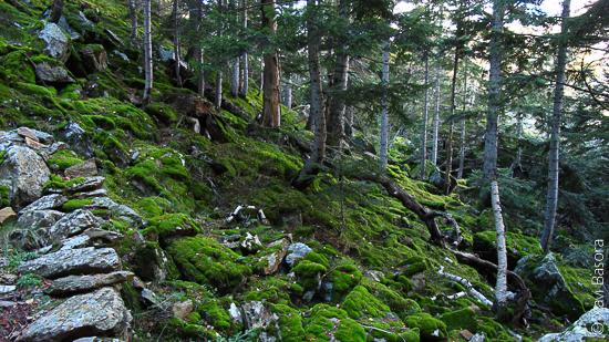 Interior d'una avetosa al Parc Natural de l'Alt Pirineu. Interior d'una avetosa al Parc Natural de l'Alt Pirineu.