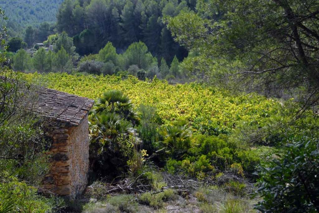 Ruta al castell d'Olivella. Vinyes