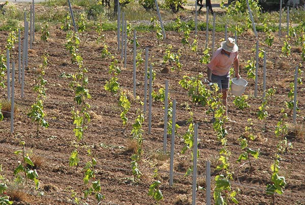 Treballant la vinya