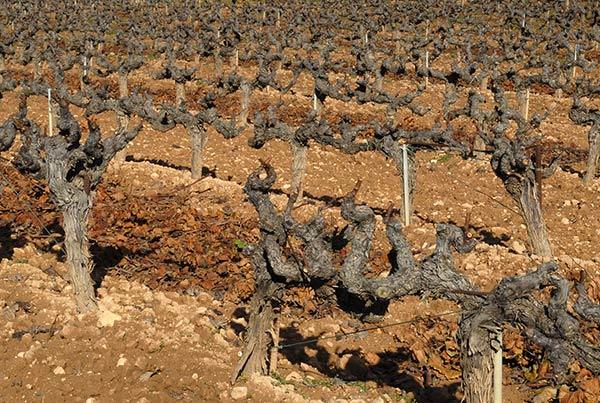 Vinyes-de-Macabeu-Sant-Martí